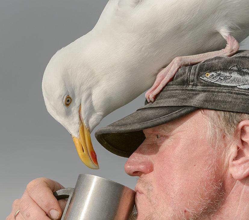 Чайка заглядывает в чашку норвежца