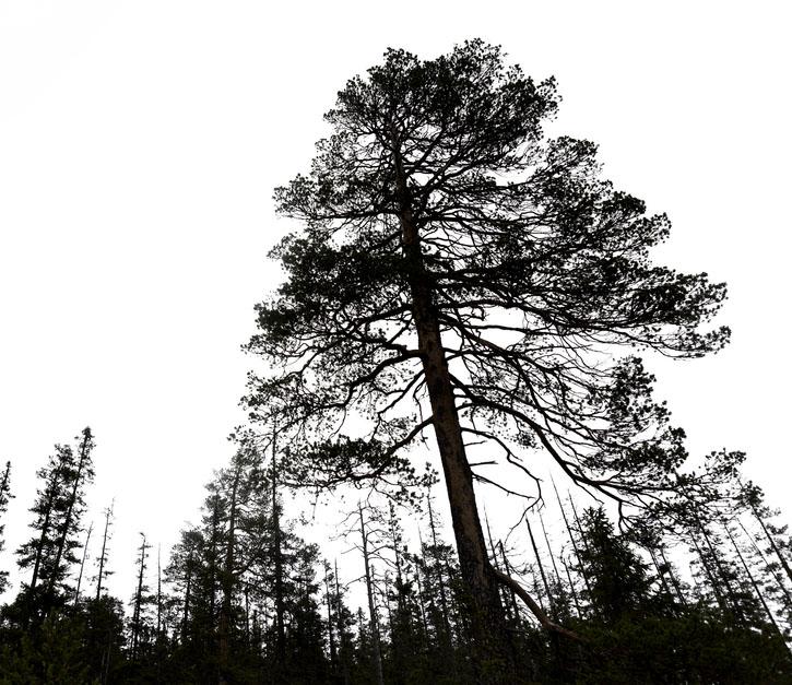 Самая старая ель растет в Швеции.Вокруг Света. Украина