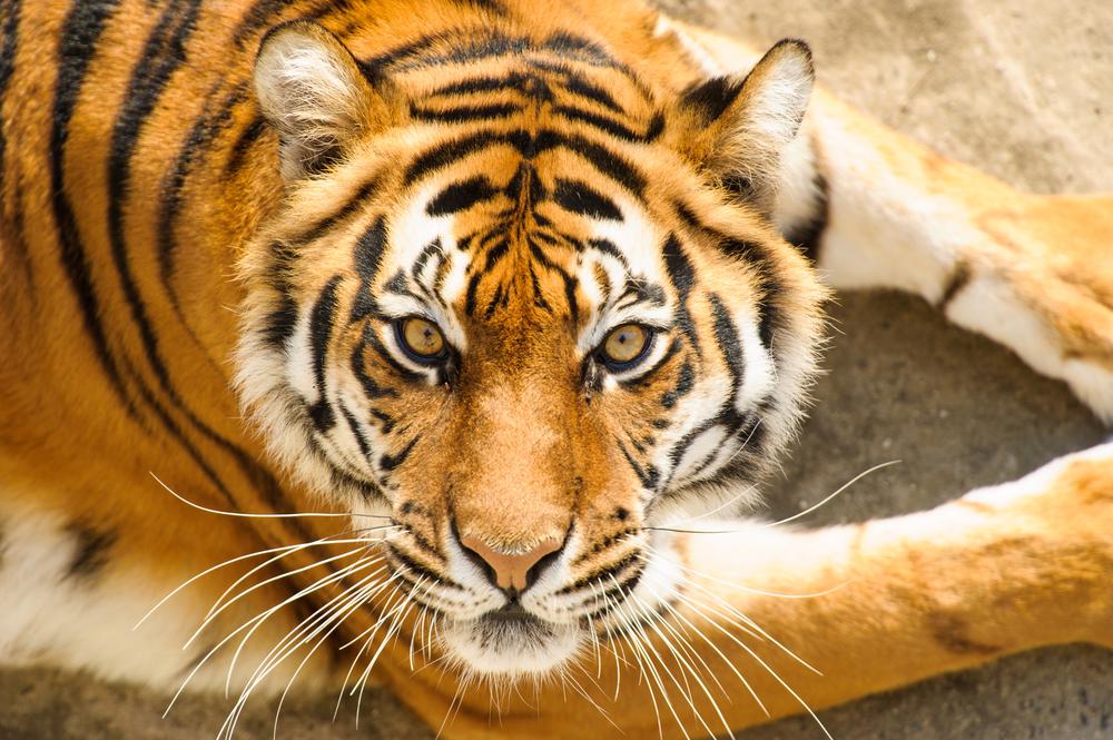 В Камбодже не осталось тигров.Вокруг Света. Украина