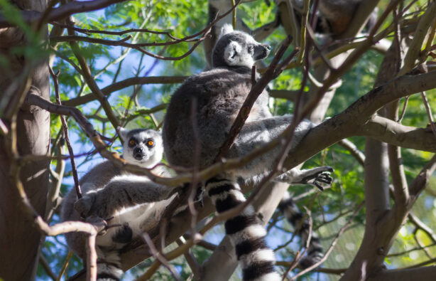 Кошачий лемур (Lemur Катта)