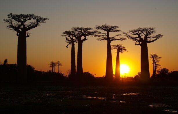 Аллея баобабов на Мадагаскаре на закате