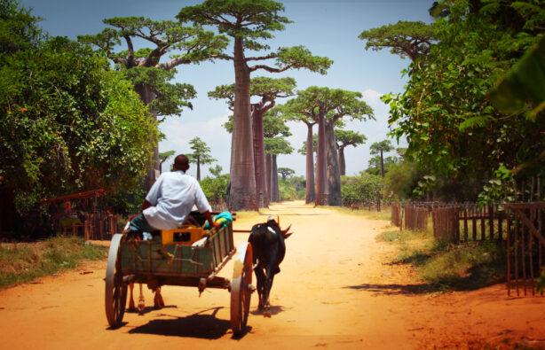Запряженная зебу повозка едет через алею баобабов на Мадагаскаре