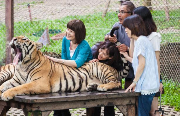 Селфи с тигром в одном их храмов в Таиланде