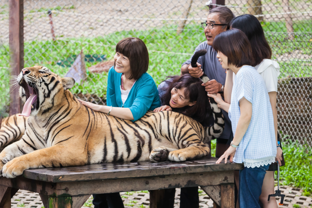 Горькая правда о селфи с тигром.Вокруг Света. Украина