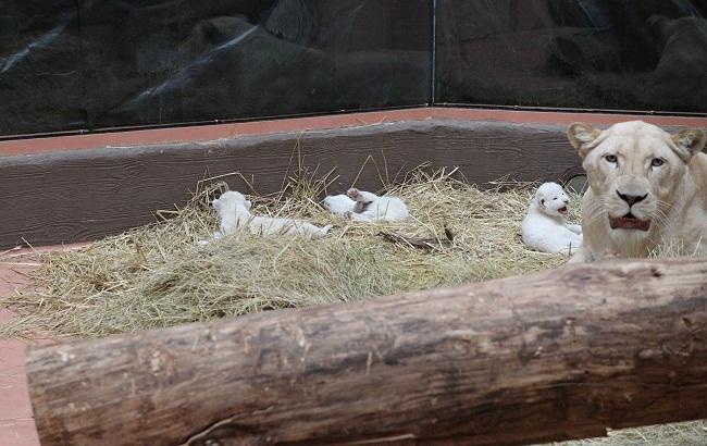 В зоопарке под Киевом родились редкие белые львята