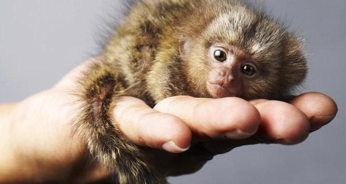 Мармозетка – самая маленькая обезьянка в мире