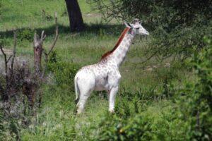 Белый жираф Омо