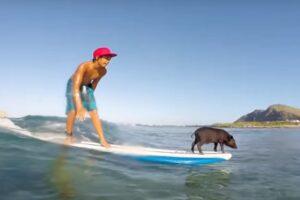 Поросенок-серфер покоряет Тихий океан