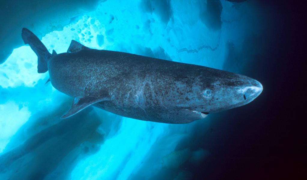 В Атлантическом океане обнаружили 400-летнюю акулу.Вокруг Света. Украина