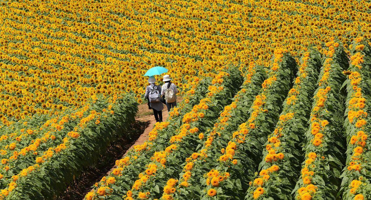 Фестиваль подсолнухов в Японии