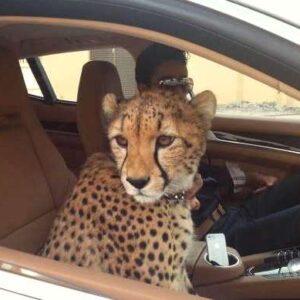 Животные арабских шейхов