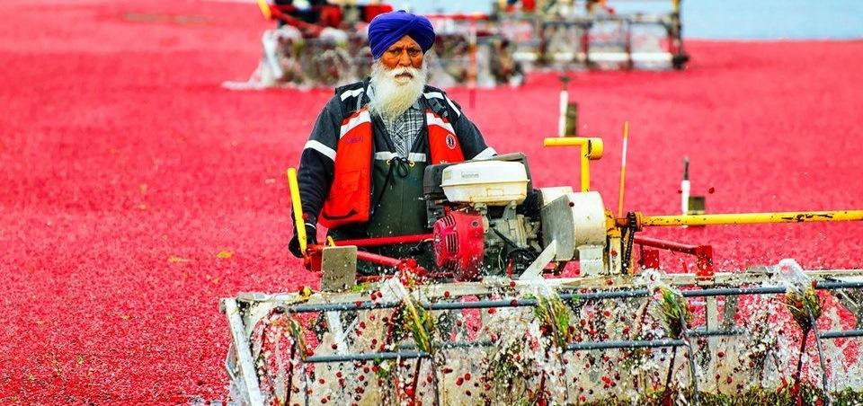 Сбор урожая клюквы в Канаде