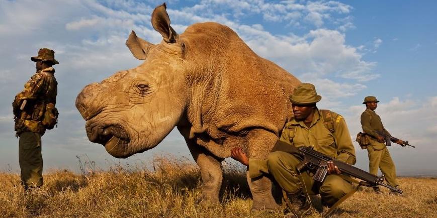 VIP-охрана для носорога