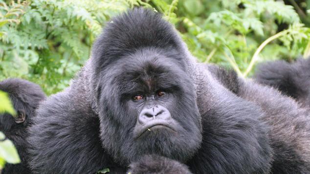 Самые большие в мире приматы на грани вымирания.Вокруг Света. Украина