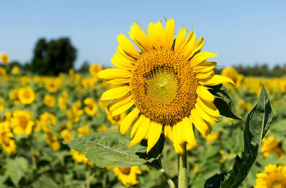 Золотой урожай Украины