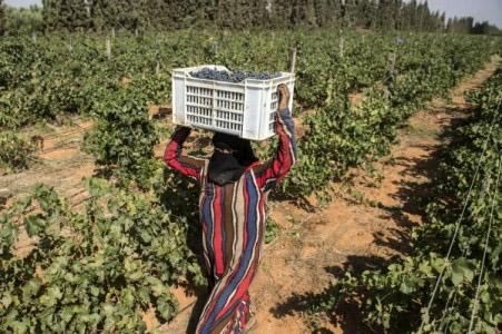 Египет пытается возродить виноделие.Вокруг Света. Украина