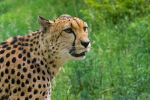 Гепарды бегут «спринт» к исчезновению