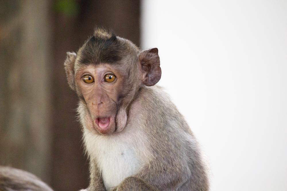 День обезьяны