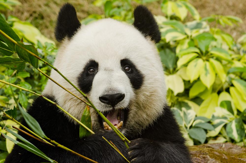 В Китае умер старейший самец панды.Вокруг Света. Украина