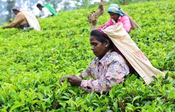 Сбор чая - женская работа.Вокруг Света. Украина