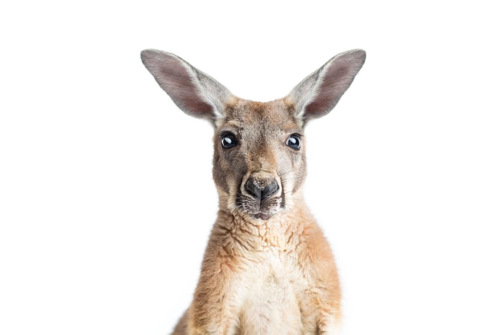 6 интересных фактов о кенгуру.Вокруг Света. Украина