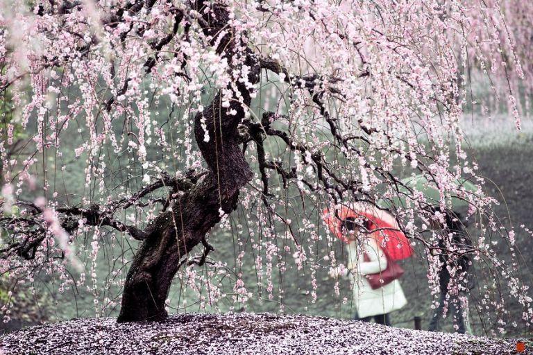 Под дождем цветов в Японии