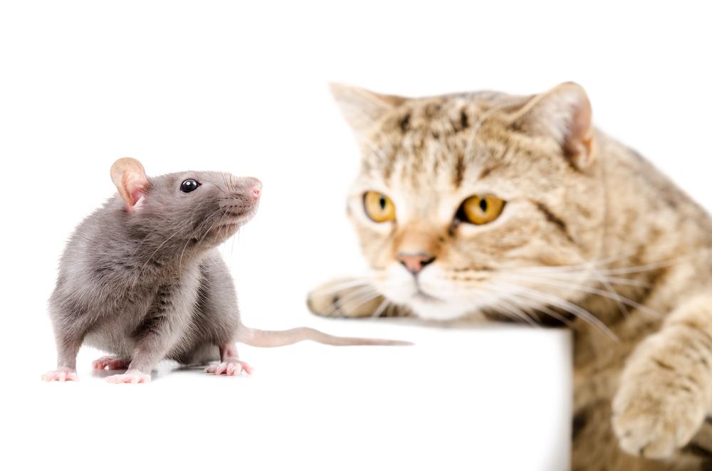 В Париже собираются потратить 1,5 млн евро на борьбу с крысами