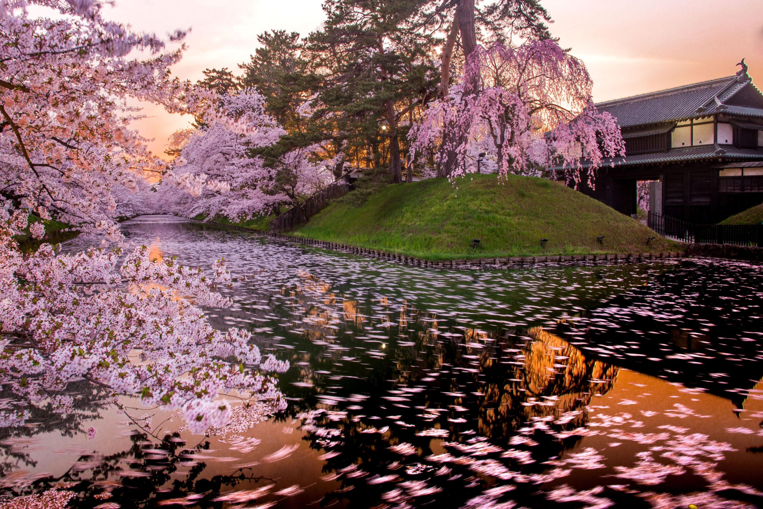 Сакура в цвету – время наполнить душу гармонией.Вокруг Света. Украина