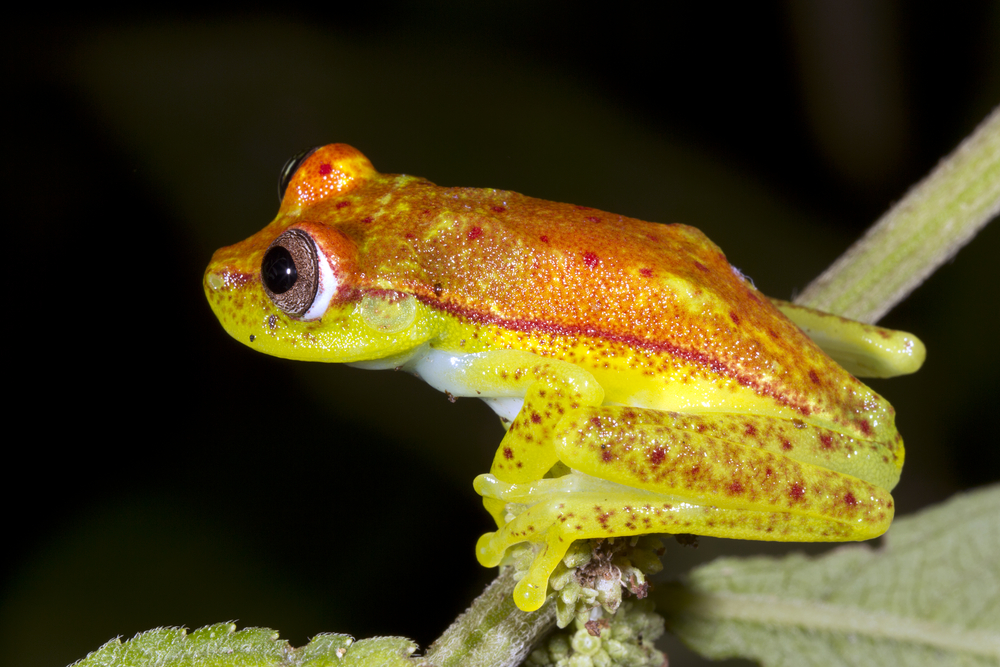 В Южной Америке нашли «светящуюся» лягушку