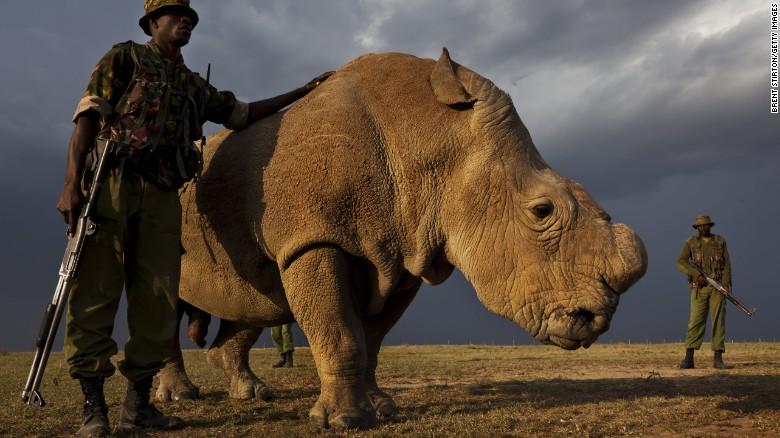 Последний на Земле белый носорог ищет пару
