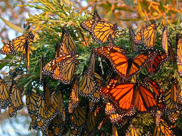 Миллионы бабочек в одном месте – заповедник в Мексике