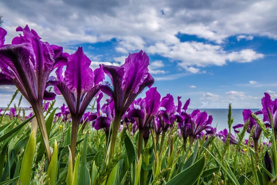 Там, где море встречается со степью: в Украине расцвела долина ирисов.Вокруг Света. Украина