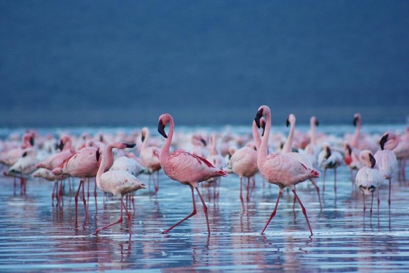 Накуру – уникальное розовое озеро фламинго
