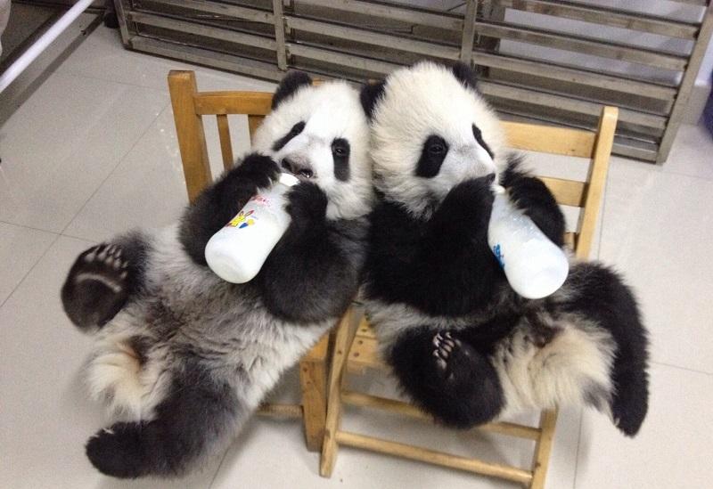 Как проходит детство малышей панд.Вокруг Света. Украина