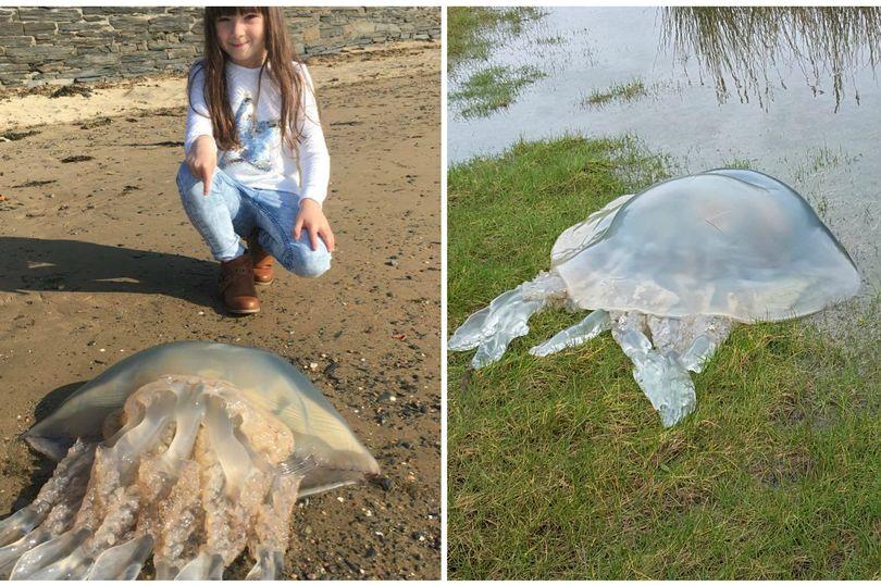 На побережье Уэльса вынесло десятки мертвых медуз