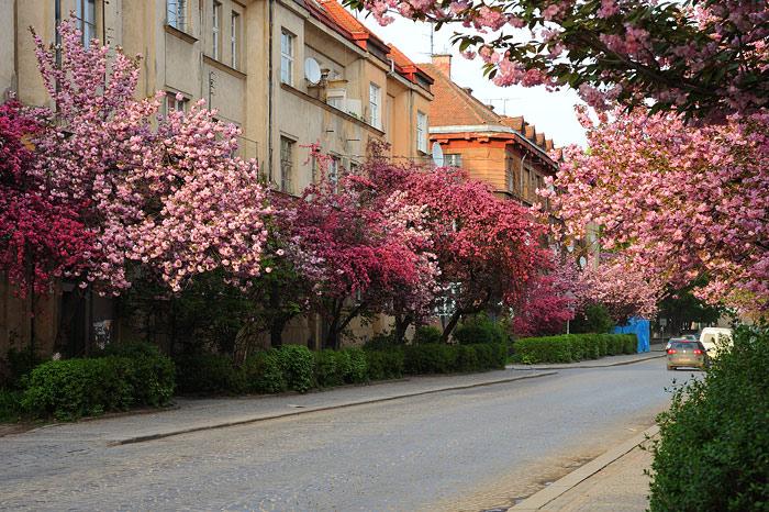 Цветущие сакуры превращают Ужгород в сказочный город