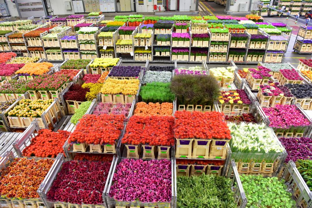 Голландия – цветочная планета: какой путь проделывает цветок, прежде чем попасть в букет.Вокруг Света. Украина