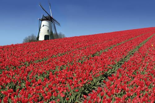 Как тюльпан стал самым дорогим цветком Европы XVII века