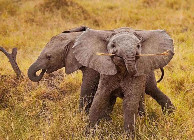 И у слонят бывает беззаботное детство