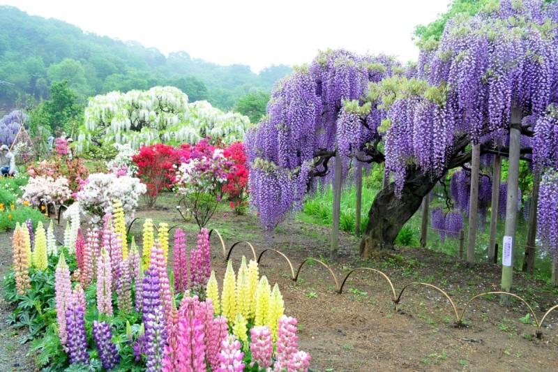 В Японии начинается сезон цветения глициний