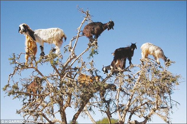В Марокко козы лазят по деревьям и сеют семена аргана