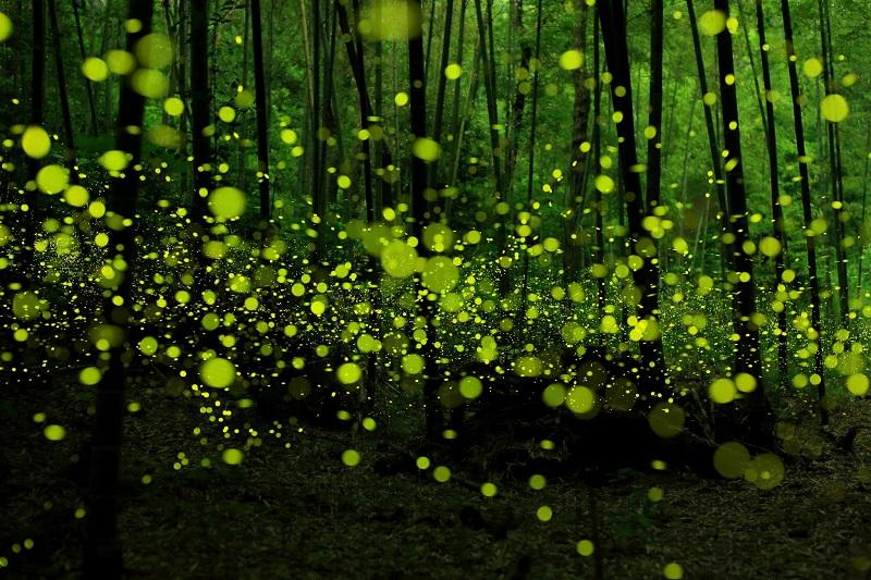 Сказочный мир светлячков в лесах Японии.Вокруг Света. Украина