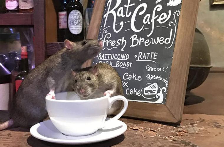 В Америке открыли кафе, где компанию посетителям составят крысы
