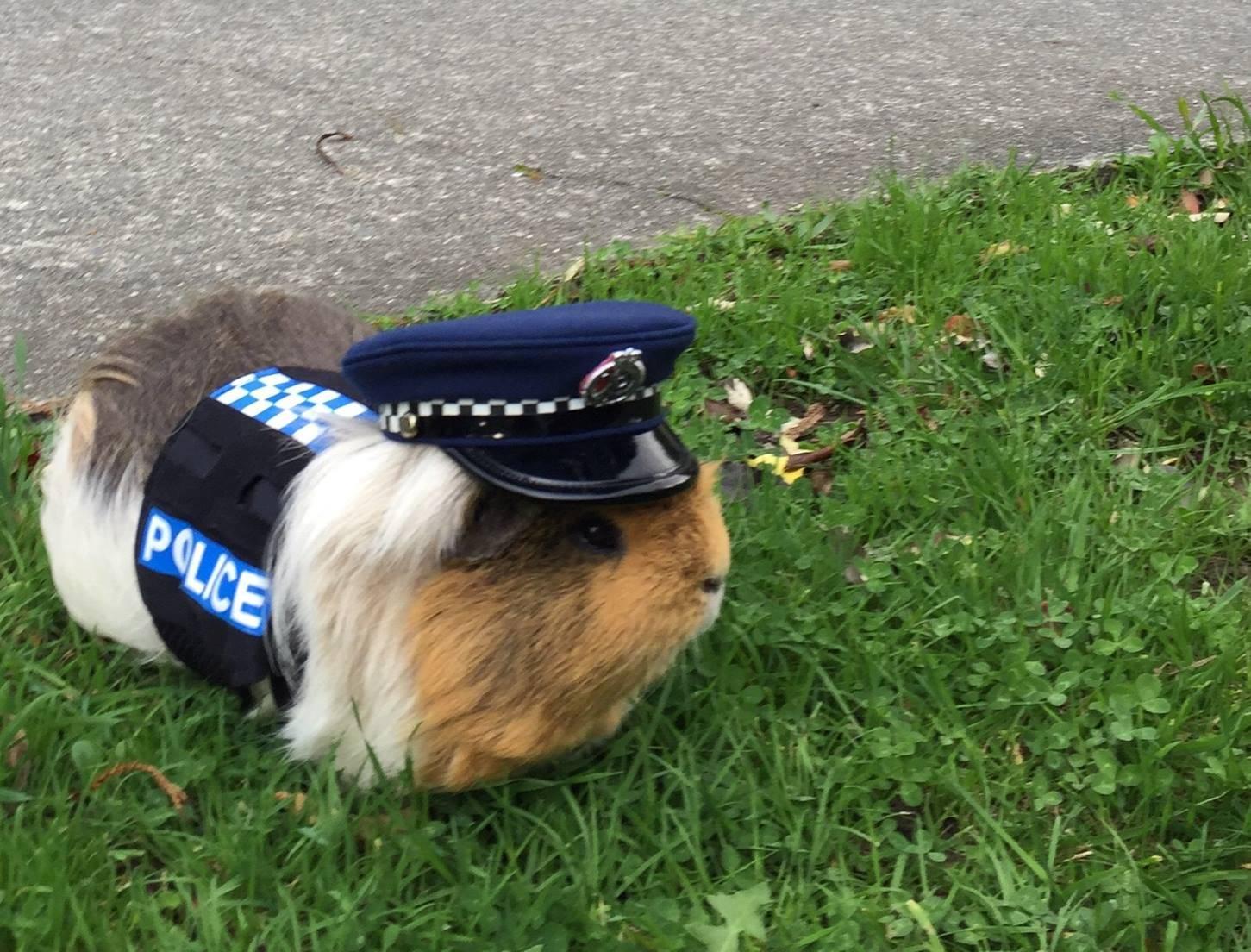 В Новой Зеландии морская свинка стала полицейским
