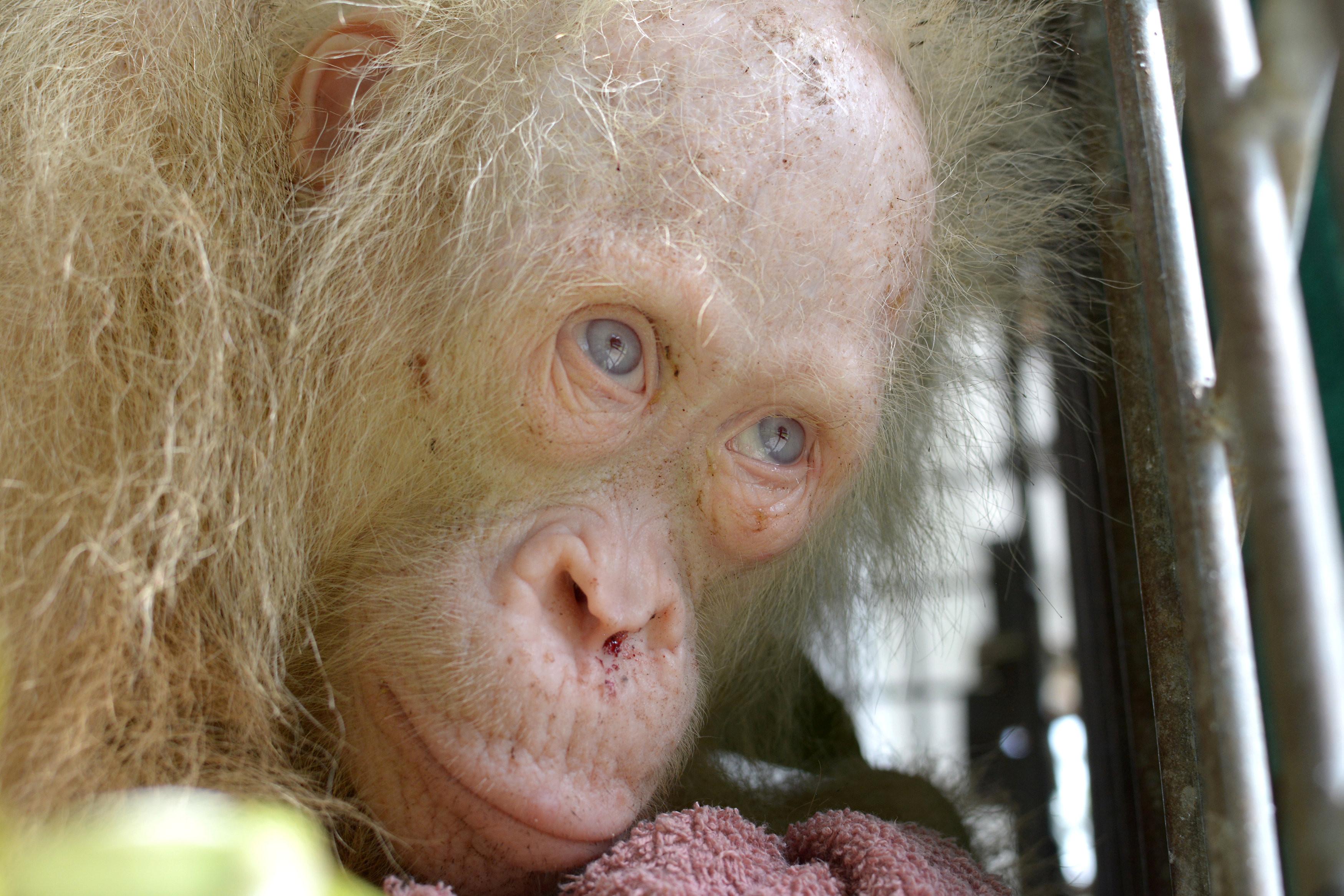 В Индонезии спасли редкого орангутанга-альбиноса
