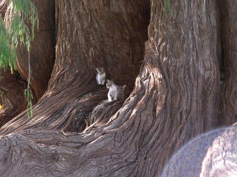Кипарис, посаженный 1400 лет назад индейцем – самое толстое дерево в мире
