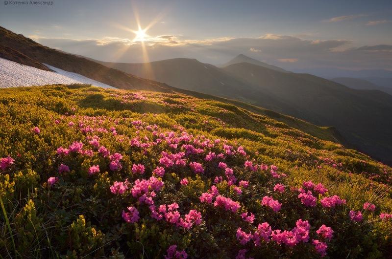 Скоро в Карпатах распустятся восхитительные цветы Червоной руты