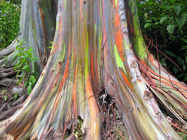 Радужный эвкалипт – полотно, на котором природа рисует абстрактные картины