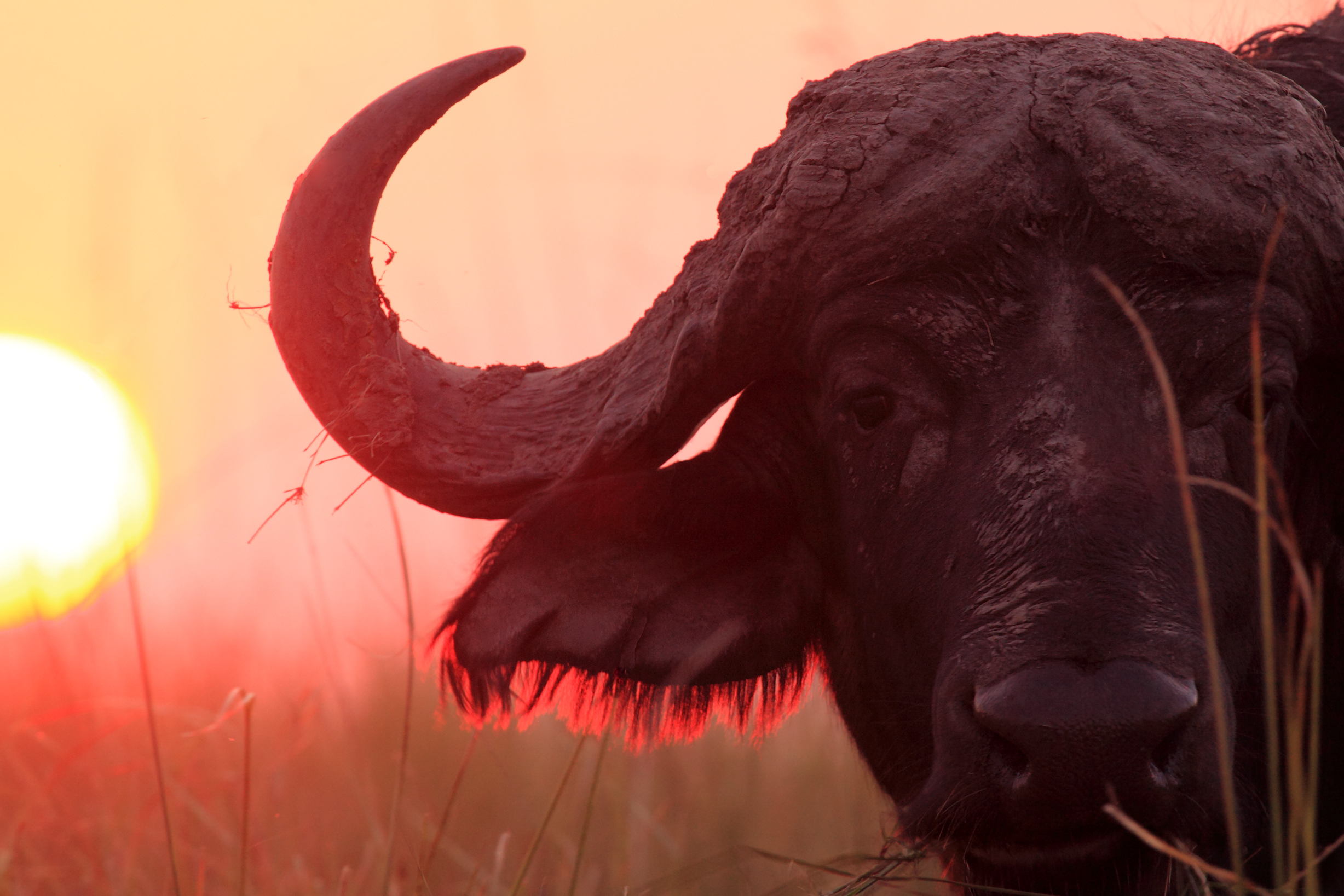 На Прикарпатье обнаружили бизонов-«нелегалов»