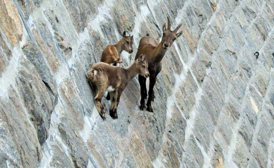 Что толкнуло их на этот шаг: козы-скалолазы